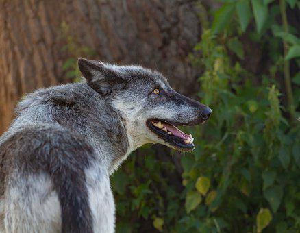 Canadian Timber Wolf, Wolf, Predator, Carnivore, Animal