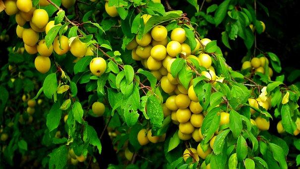 Plum, Fruit, Damson, Yellow, Food, Delicious, Vitamins