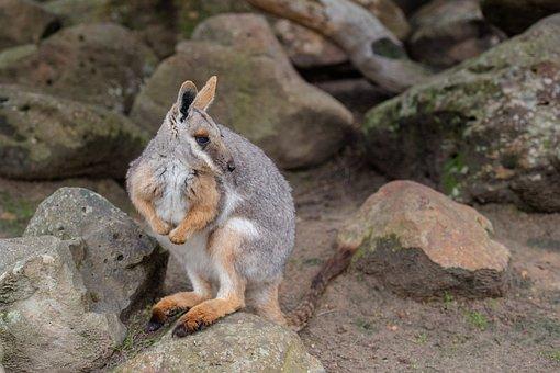 Yellow-footed Rock-wallaby, Wallaby, Macropod