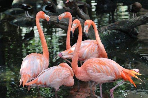 Flemish, Birds, Nature, Pen, Plumage, Exotic, Animals