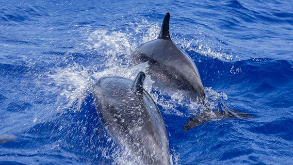 Dolphins, Atlantic, La Palma, Boat Tour, Whale Watching