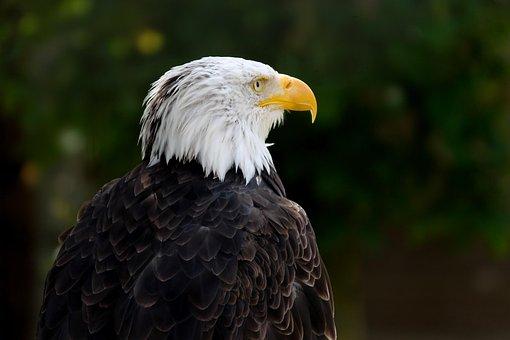 Bald Eagle, Haliaeetus Leucocephalus, Raptor