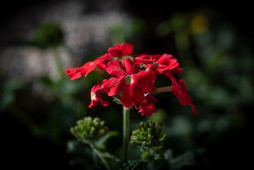 Flower, Red, Blossom, Bloom, Garden, Summer, Flora