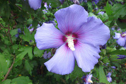 Hibiscus, Blossom, Bloom, Hibiscus Syriacus, Violet