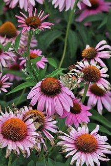 Nature, Plant, Flower, Blossom, Bloom, Coneflower