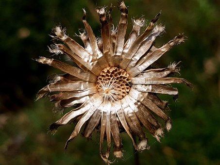 Autumn, Trockenblume, Faded, Nature, Close Up, Blossom