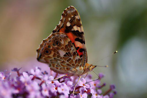 Vanessa Cardui, Butterfly, Insect, Nature, Blossom