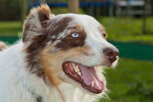 Dog, Animal, Herding Dog, Pet, Portrait, Charming