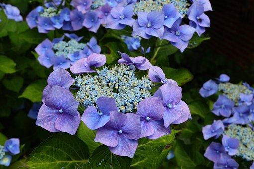 Flowers, Blue, Garden, Summer, Close Up, Violet