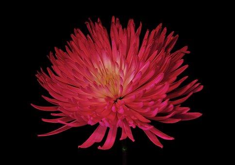 Chrysanthemum, Mum, Flower, Colorful, Floral, Nature