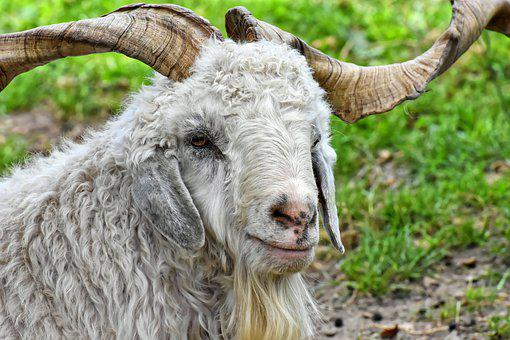 Billy Goat, Cashmere Goat, Wool Goat, Goat, Cute
