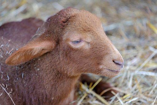 Lamb, Baby, Sheep, Young Animal, Stall, Wool, Easter
