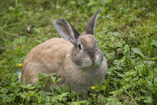 Hare, Rabbit, Long Eared, Ears, Rodent, Nager, Easter