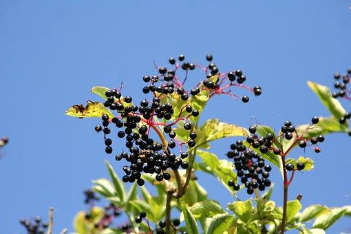 Elderberry, Berries, Sky, Blue, Fruit, Shrub, Leaves