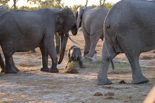 Elephant, Flock, Africa, Safari, National Park, Chobe