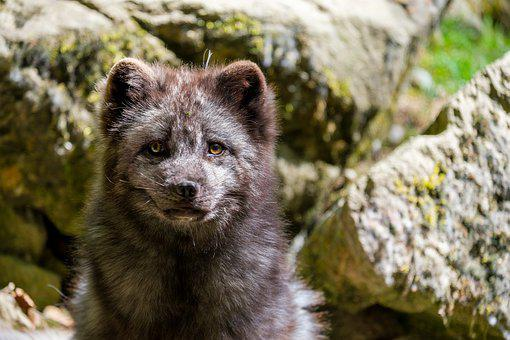 Fuchs, Arctic Fox, Ice Fox, Snow Fox, Eyes, Eye Contact