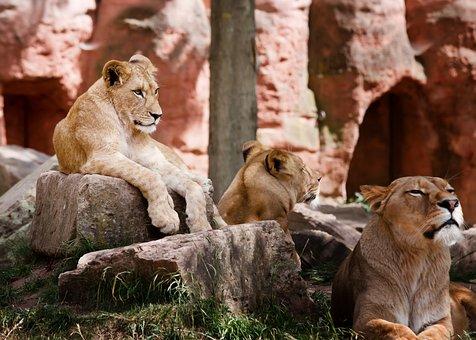 Lion, Family, Africa, Wilderness, Animal, Safari, Kenya