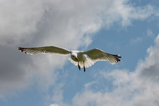 Seagull, Flight, Seevogel, Bird, In Flight, Sky, Flying