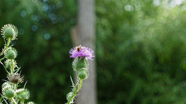 Thistle, Flower, Bee, Nature, Plants, Summer