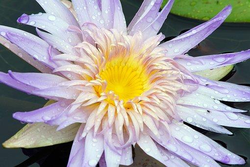 Lotus, Waterr Lotus, Flower, Nature, Buteful, Summer