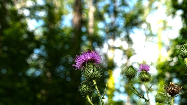 Thistle, Bee, Flower, Nature, Insects, Plants, Summer