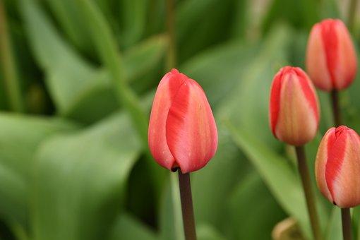 Tulip, Fresh, Tulips, Spring, Bloom, Garden, Flowers