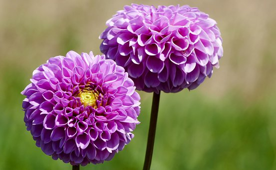 Nature, Garden, Flowers, Dahlias, Red, Purple, Yellow