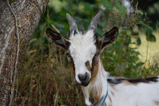 Goat, Goat Pépito, Herbivore, Ruminant, Kid, Mammal