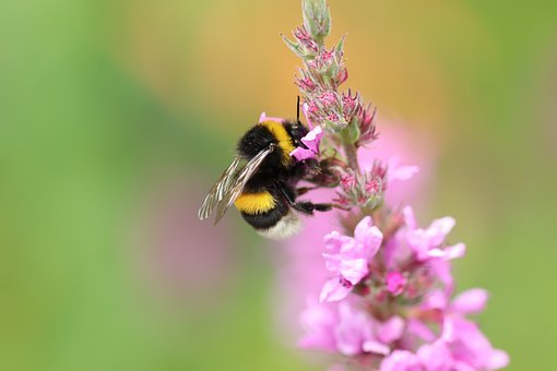 Hummel, Insect, Nectar, Collect, Blossom, Bloom, Nature