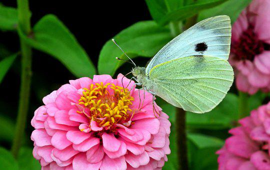 Butterfly, Insect, Zinnia, Flower, Nature, Macro, Wings