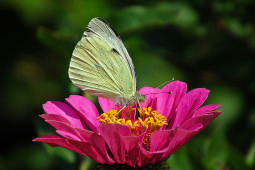 Butterfly, Zinnia, Insect, Flower, Nature, Summer