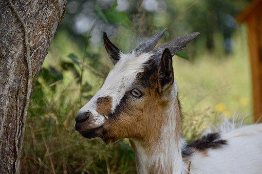 Goat Pépito, Goat, Herbivore, Ruminant, Kid, Mammal
