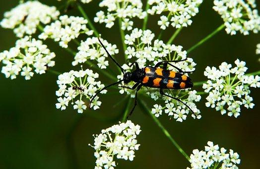 Baldurek Striped, The Beetle, Kózkawate, Insect