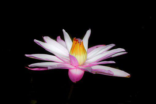 Night Flower, Flower, Lotus, Night Lotus, Pond, White