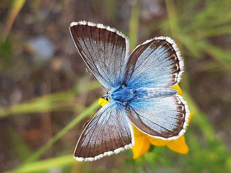 Silver Blue, Butterfly, Nature, Insect, Macro