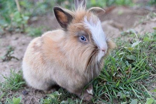 Rabbit, Dwarf Rabbit, Animal, Mammal, Rodent