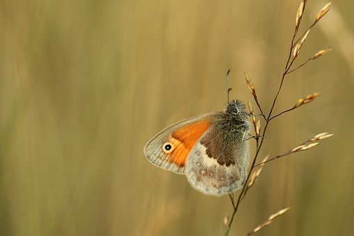 Butterfly, Meadow Birds, Nature, Butterflies, Meadow