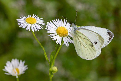 Butterfly, White Ling, Daisy, Meadow, Green, White