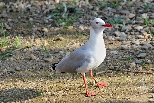 The Seagull, Bird, Sea, Flight, Wings, Nature, Animal