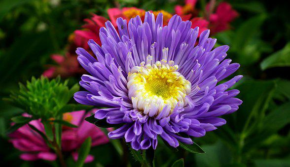 Aster, Blue, Flower, Garden, Nature, Summer, The Petals