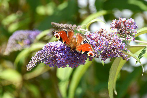 Peacock Butterfly, Butterfly, Summer Lilac