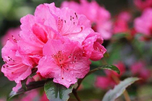 Azalea, Flowers, Blossom, Plant, Pink, Spring