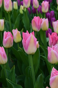 Tulips Fields, Pink Flowers, Purple, Colorful, Life