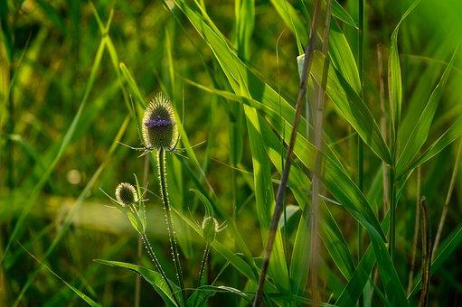 Plant, Thistle, Backlighting, Summer, Nature, Blossom