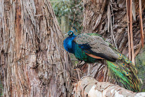 Peacock, Bird, Feathers, Plumage, Animal, Avian