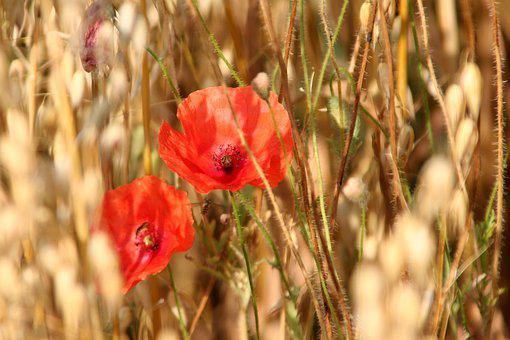 Oats, Poppies, Cereals, Flower, Agricultural, Field