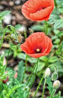 Poppies, Summer, Nature, Poppy, Red, Poppy Flower