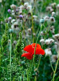 Poppy, Blossom, Bloom, Thistles, Flower, Nature, Flora