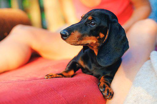 Dog, Dachshund, Puppy, Animal, Pet, Little, Young, Cute