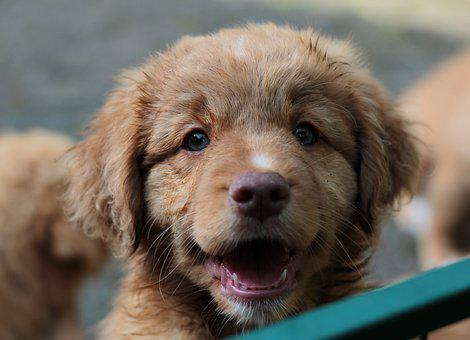 Nova Scotia Duck Tolling Retriever, Puppy, Cute, Toller